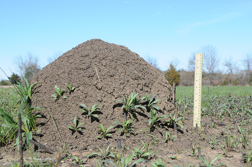 a fire ant mound with blue sky background