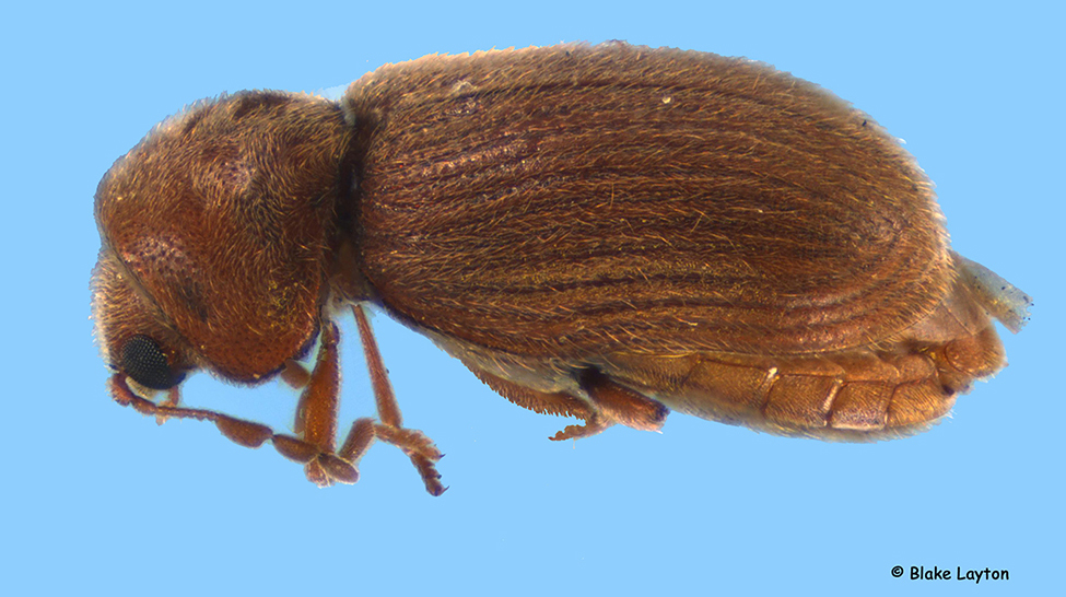 close-up of a drugstore beetle adult.