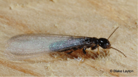 small black insect with long, clear wings.