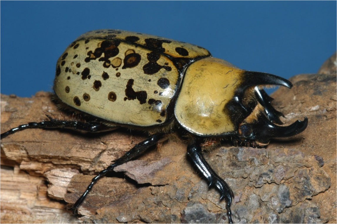 large beetle with horn-like projections on head and thorax