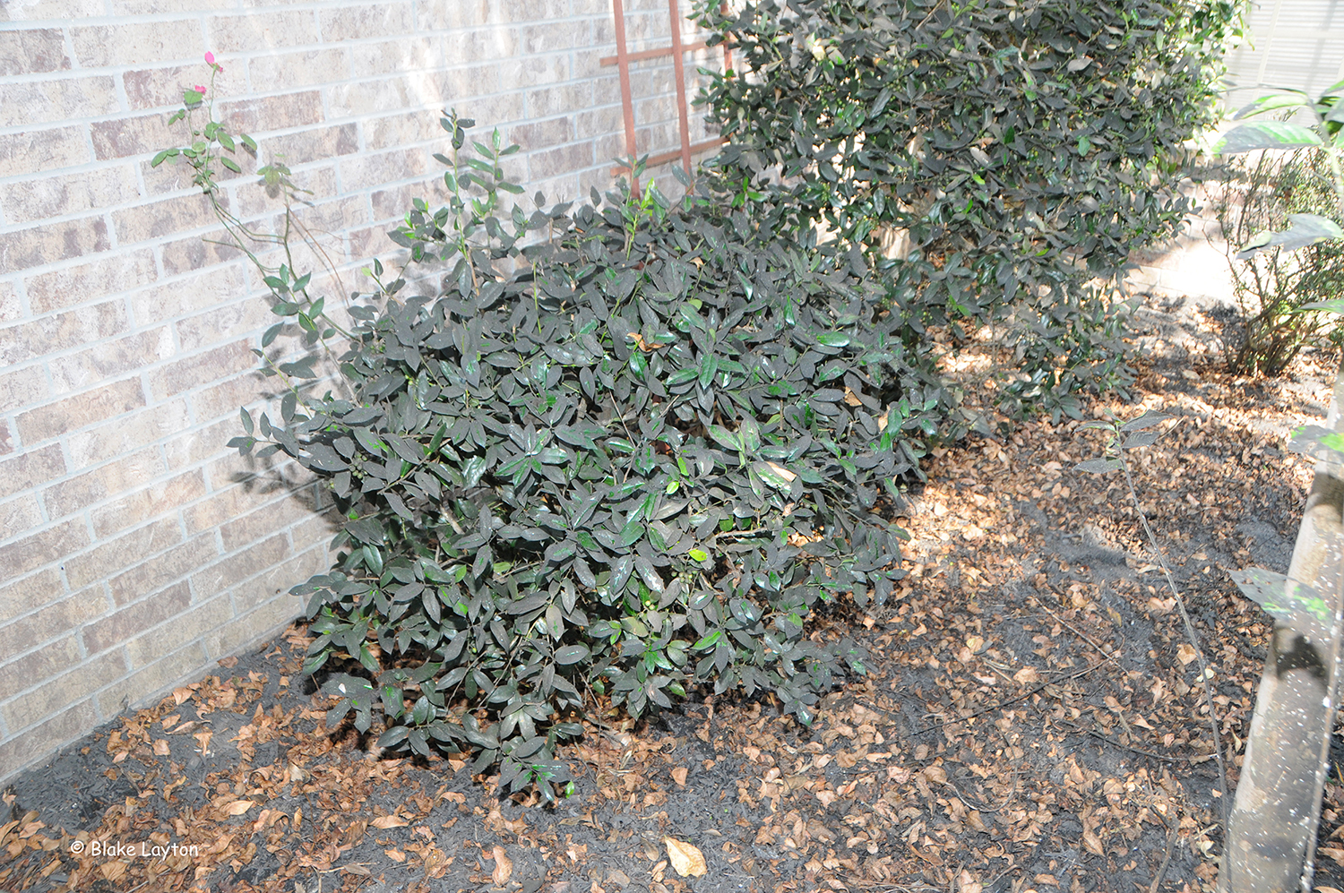 The holly shrub in this photo is totally covered with sooty mold, but it did not have an insect infestation.  How can this be?  A large crape myrtle growing in this bed was heavily infested with crape myrtle bark scale, and the honeydew produced by these scale fell onto plants growing underneath.  Notice that even the mulch in this area is covered with sooty mold.