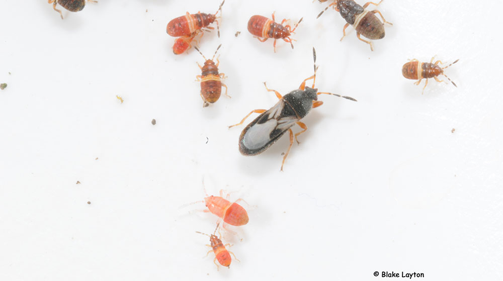 This photo shows a single adult chinch bug (about 1/8 to 3/16 inch long) a couple of dark-colored older nymphs, and several of the younger, red-colored nymphs.