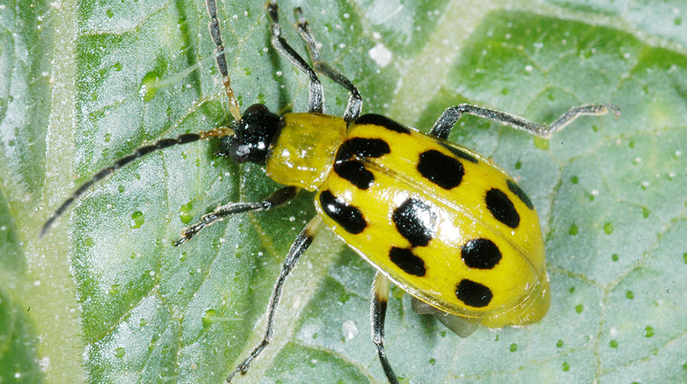A yellowish cucumber beetle with large black spots.