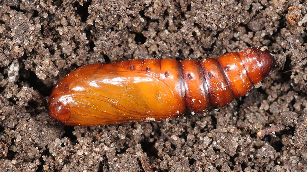 a brown segmented pupa in the soil