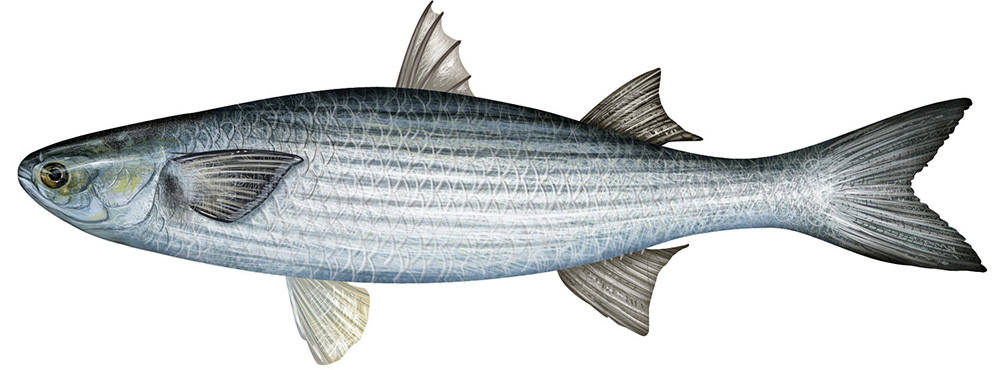 This is a drawing of the commercial striped Mullet.