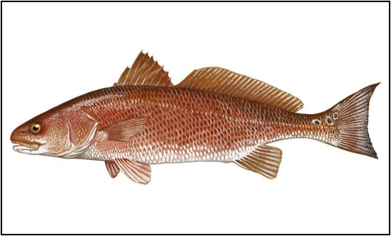 Figure 1. Red drum.  Source: Gulf FINFO (http://gulffishinfo.org/).