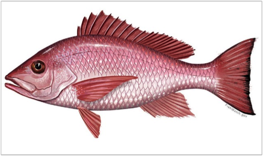 Drawing of a red snapper