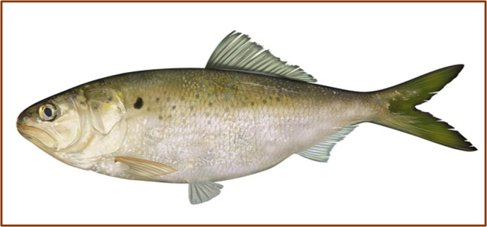 An image of a Gulf menhaden