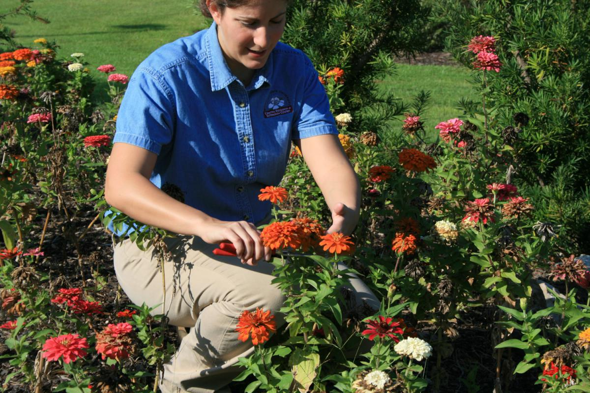Amanda Seymour demonstrates deadheading a zinnia along Mississippi's Gulf Coast.