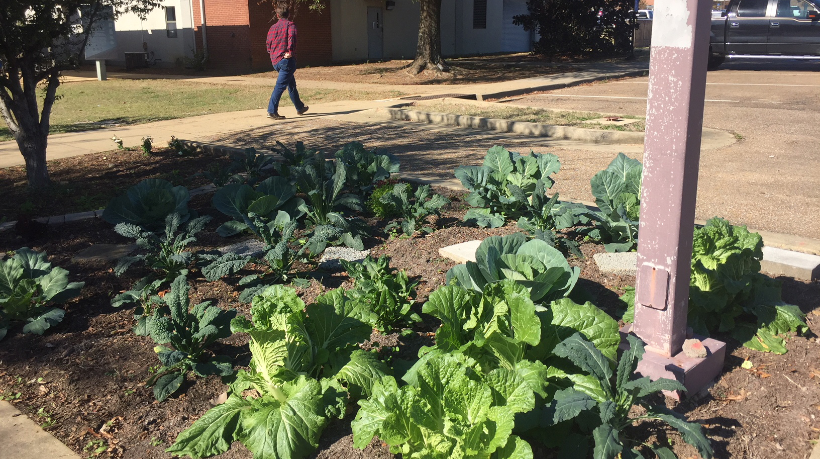 Cabbages, kale, and mustard greens grow in a landscape bed on the MSU campus.