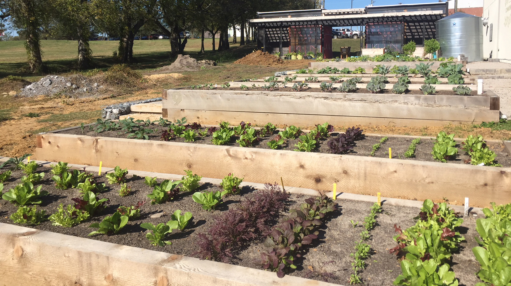 Wide shot shows MSU Community Garden with several raised garden beds planted with winter vegetables and lettuces.