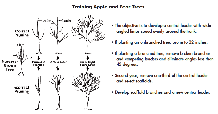 This figure shows correct and incorrect pruning of apple and pear trees.