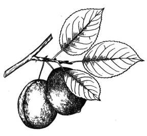 This is a sketch of plums.