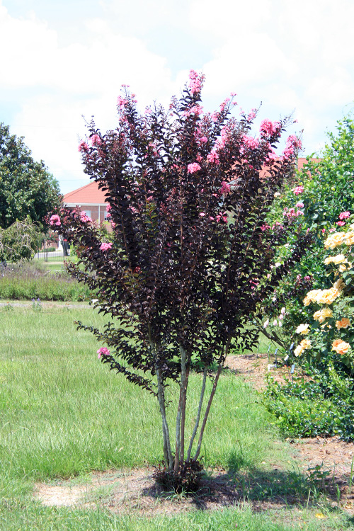 This is an image of a Delta Jazz crepe myrtle tree.
