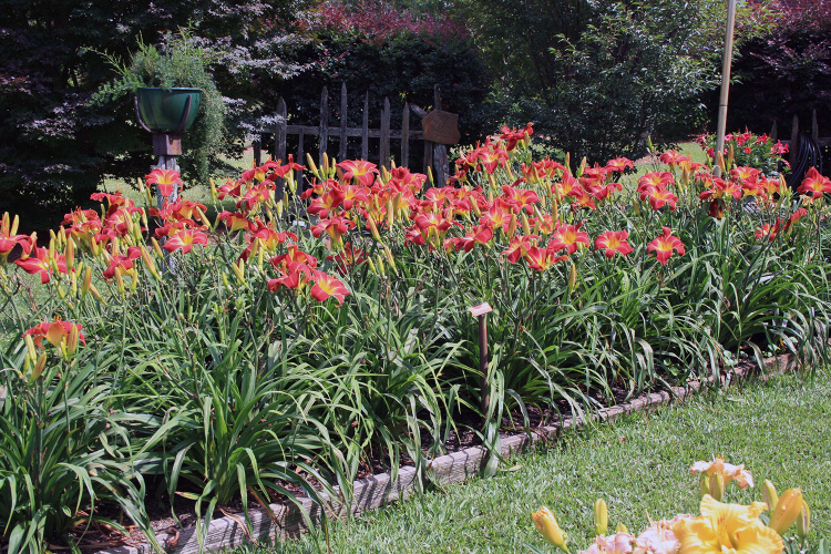 This image shows a garden of Suburban Nancy Gayle daylilies.
