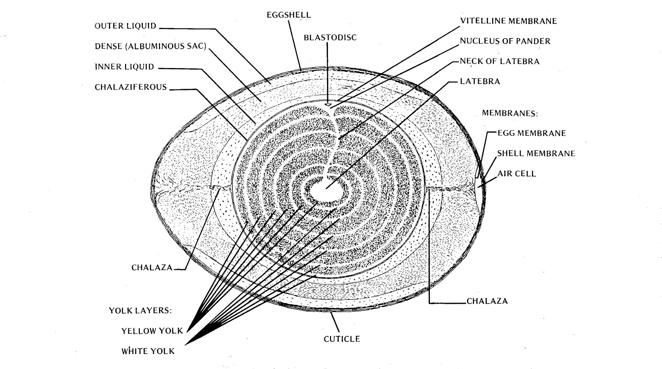 Figure of a hen's egg shown cross-sectioned. The center is the latebra, the layer immediately followin gis the yellow yolk, then the white yolk. Then there is the neck of latebra which runs from the latebra to the nucleus of pander. Sitting n the nucleus of pander is the blastodisc. Then is the vitelline membrane. Running from the vitelline membrane to the air cell and egg membrane (on both ends of the egg) is the chalaza. Tight past the vitelline membrane is the Chalaziferous, the inner liquid, the dense albuminous sac, and the outer liquid. All of t his is contained within the egg shell which is surrounded by a cuticle.