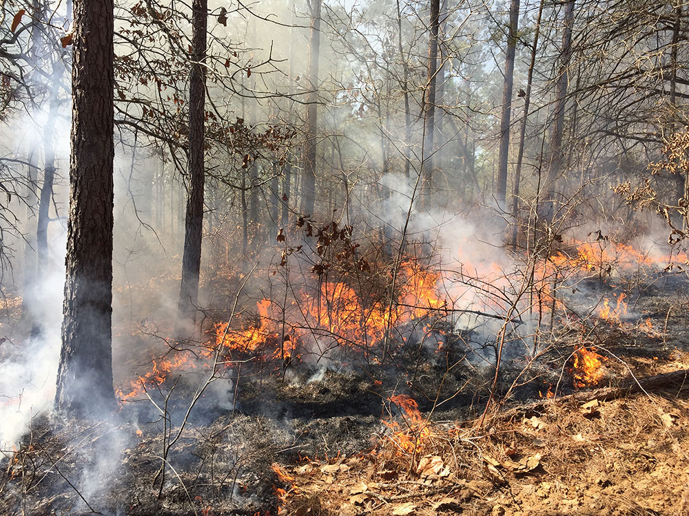 This image shows a prescribed burning of a pine stand to increase herbaceous ground cover for wildlife.