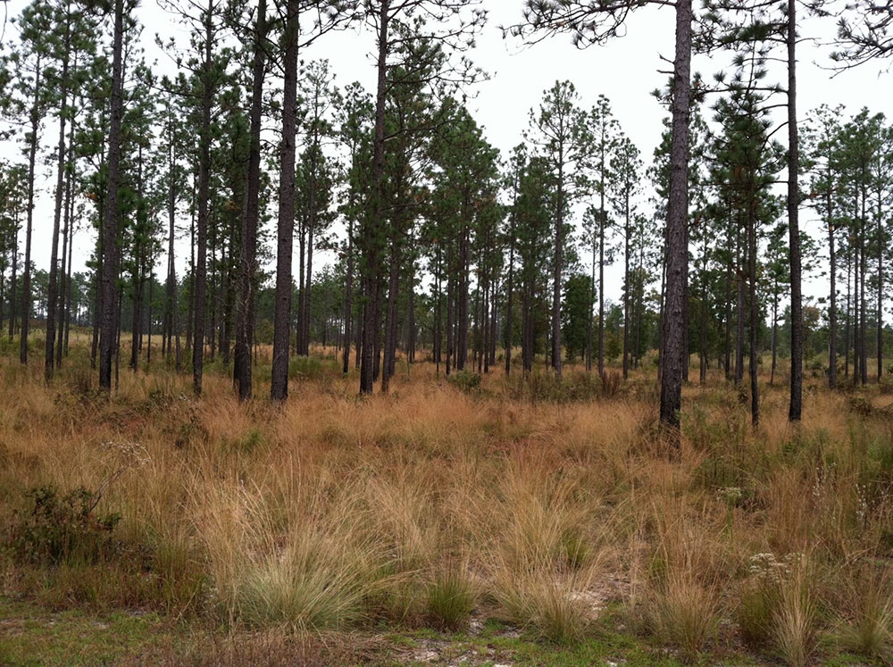 Early succession herbaceous species maintained using prescribed fire and herbicide.