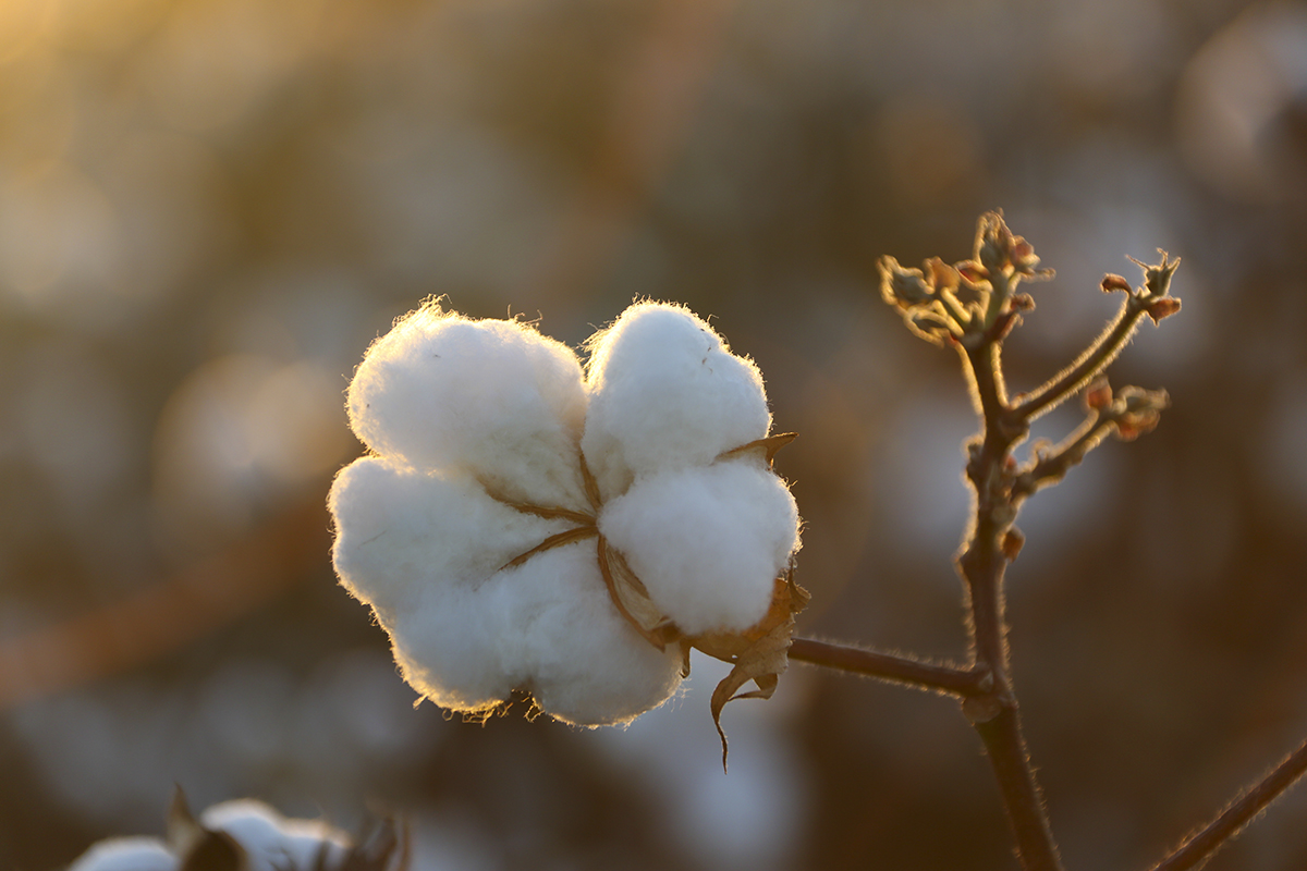 An image of a cotton boll in the sunshine.