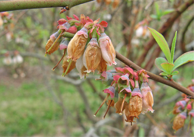Dead and brown drooping blueberry blooms.
