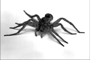 Spiders: Brown Recluse and Black Widow | Mississippi State