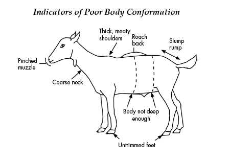 This is a drawing of a goat with indicators of poor body conformation.