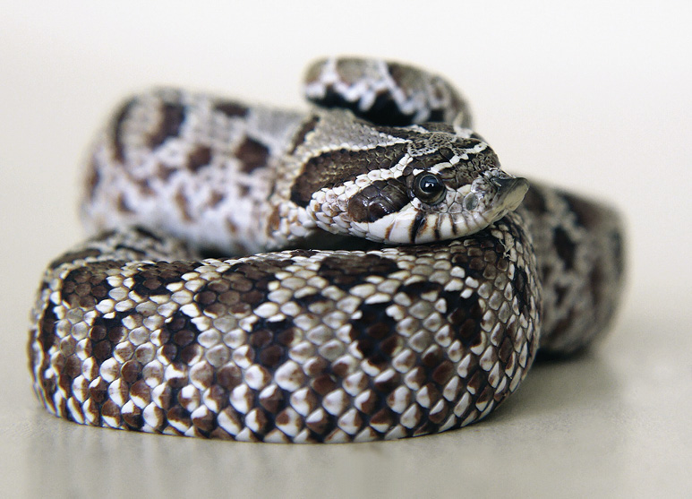 the nonvenomous hognose snake