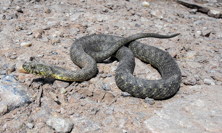 the nonvenomous water snake