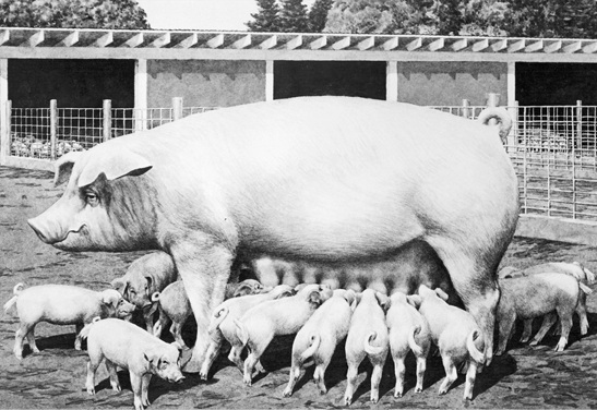 Chester white pig surrounded by piglets. Large frame, solid white.