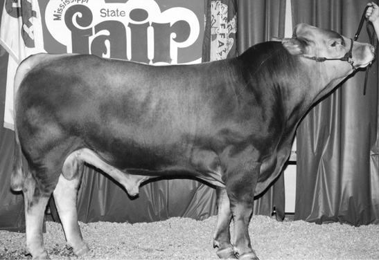 Limousin cow. Large with brown fur and a large midsection.