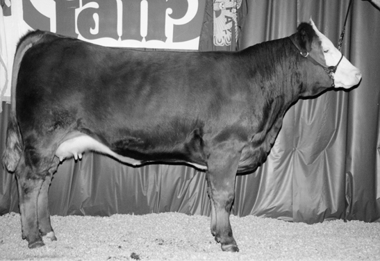 Simmental cow. Large and muscular with mostly brown fur and a white face.