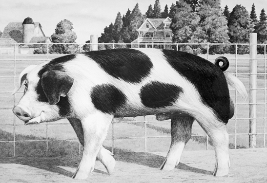 Spotted pig. Large frame, white with black spots.