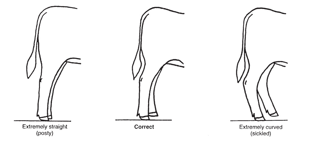 Diagram of an ideal market steer's feet and leg placement.