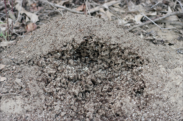 An image of a fire ant mound