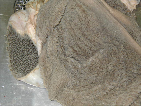 Interior lining of the rumen, revealing papillae in an 8-week-old calf.