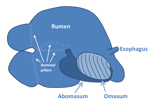 A diagram showing the right-sided view of a ruminant digestive tract.