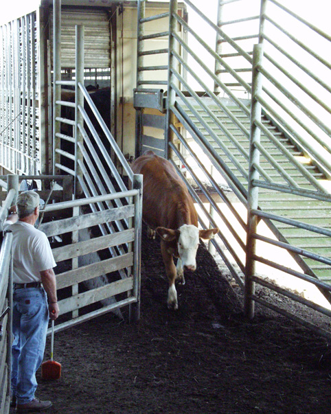 A cow being unloaded at cattle receiving.