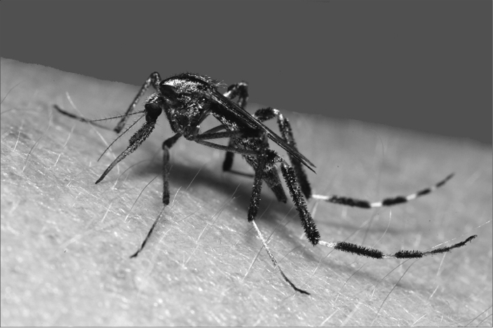 Adult female Psorophora mosquito, a vicious mosquito in Mississippi (Photo courtesy Dr. Blake Layton, MSU Extension).