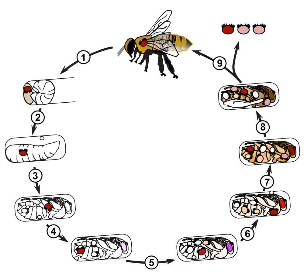 This is a drawing of the life cycle of the varroa mite.