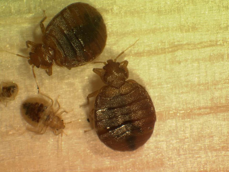 several small, oval-shaped bed bugs.