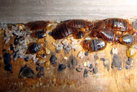 Adult bed bugs, nymphs, and shell casings.