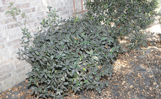 Medium-sized shrubs next to a brick wall. The shrubs have a layer of dark gray to black sooty mold on most of their leaves, and the mulch below the shrubs is also covered in the substance.