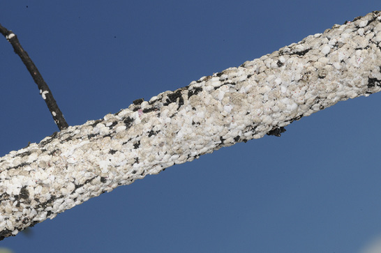A single twig that is nearly covered with white scales.
