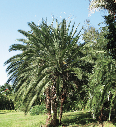 A group of single-trunked trees with very large crowns of pinnate leaves.