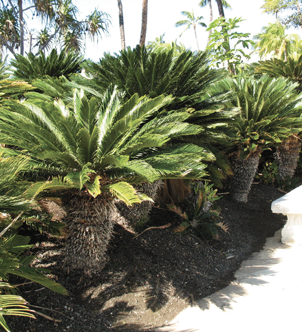 A cluster of short, thick-trunked trees with large crowns of pinnate leaves.