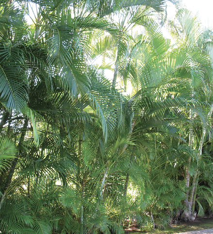A large, informal grouping of single-trunked, pinnate-leaved trees.