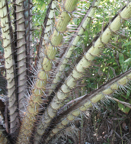 Close-up of multiple, very sharp and spiny petioles.