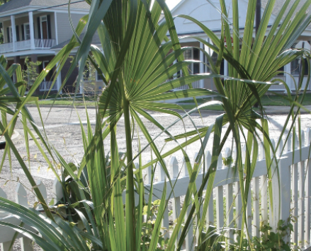 A sparse group of tall, thin palm plants line a white picket fence.