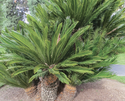 A group of light green sago palms of various heights planted closely together.