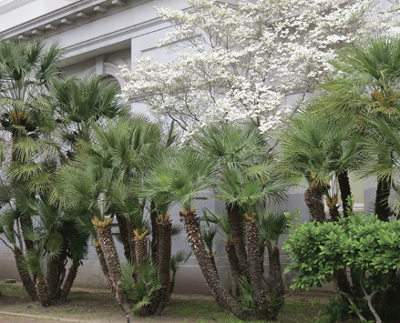 European fan palms with several thick trunks planted in a line.